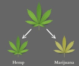 Hemp and cannabis, not the same thing